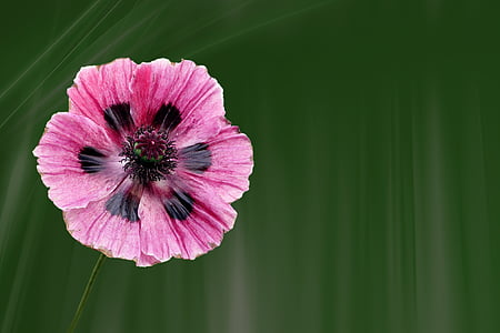 pink and black poppy in bloom at daytime