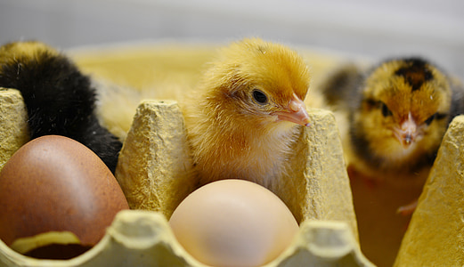 three chicks beside eggs