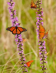 monarch butterfly and gulf fritillary butterflies on pink flower