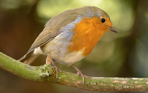 focus photography of European robin bird