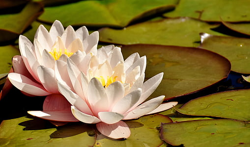 white water lily on body of water