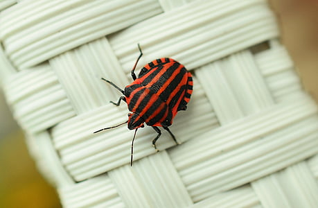 Italian striped beetle on white wicker surface