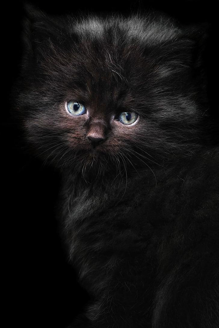 long-fur black kitten photography