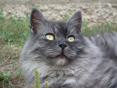 Russian blue cat looking above