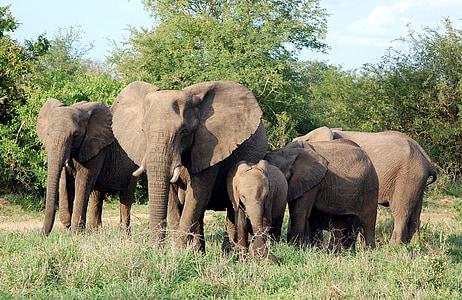 brown mammoths