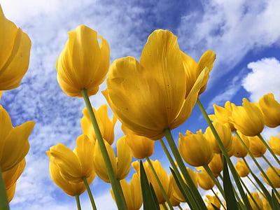 macro photography of yellow tulips