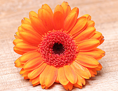 orange gerbera daisy flower in closeup photography
