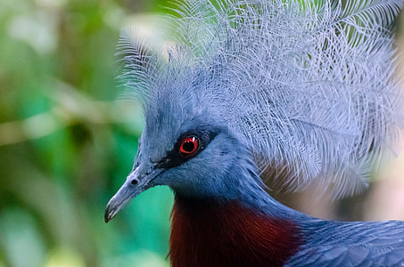 selective focus photography of Victoria crowned pigeon