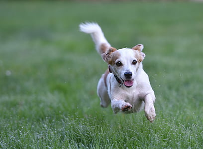white and tan Jack Russell terrier puppy runs on grass field during day