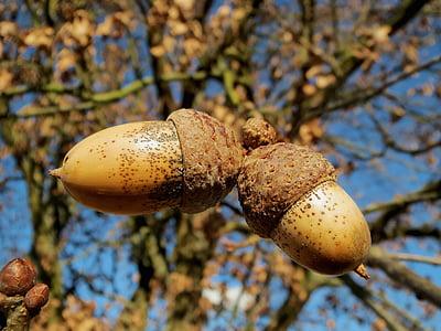 close-up photo of brown acorn