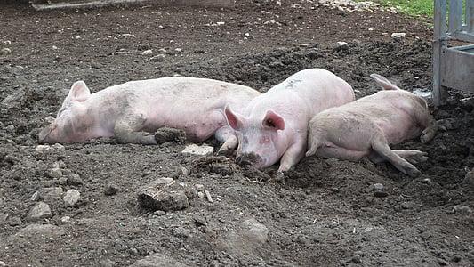 three pink pigs lying on soil