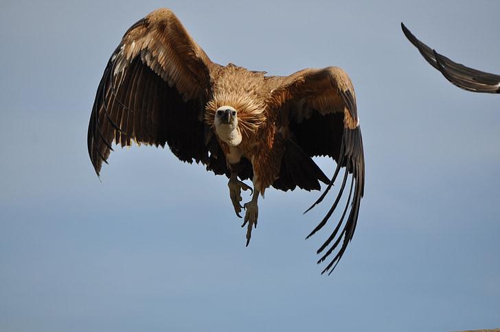 black and gray bald eagle