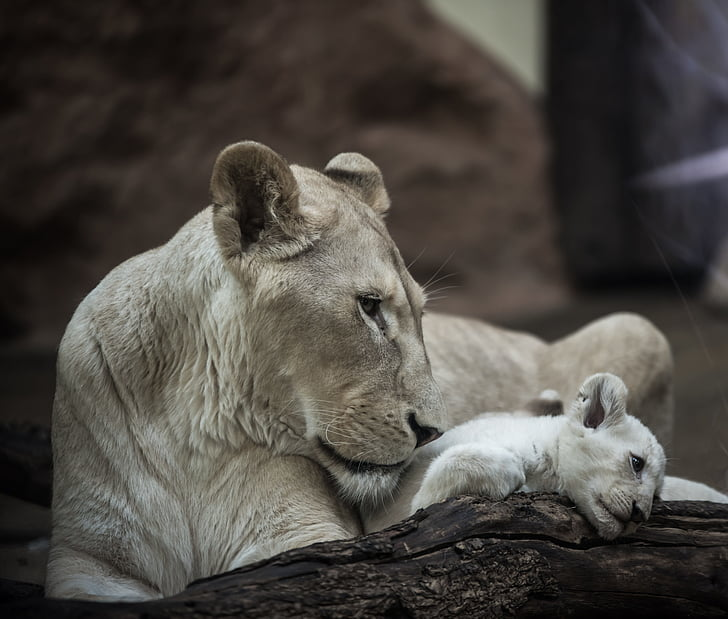 gray lioness with cub