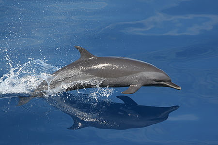 gray swimming dolphin