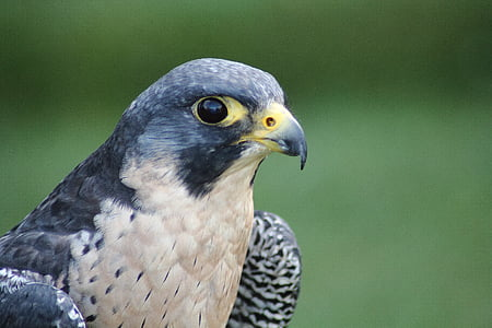 macro photography of falcon