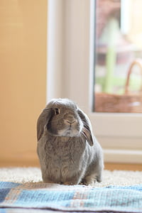 gray Holland lop