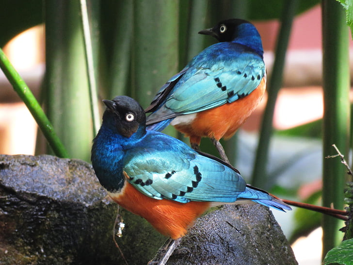 two blue-and-orange birds perched on rock