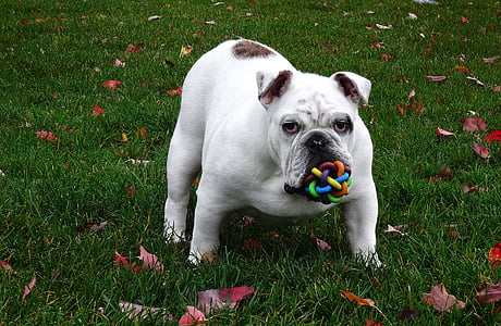 white and tan bulldog