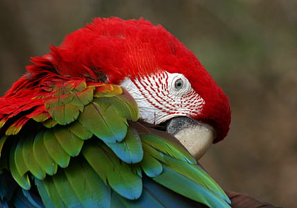 red and green parrot