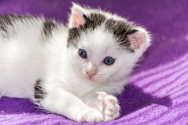 white and black kitten on purple textile