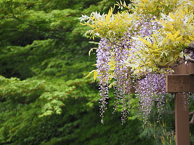 wisteria, wisteria trellis, flowers, japan, nature, tree