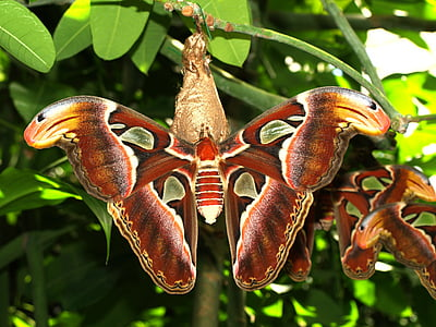 cecropia moths perched on green leaf