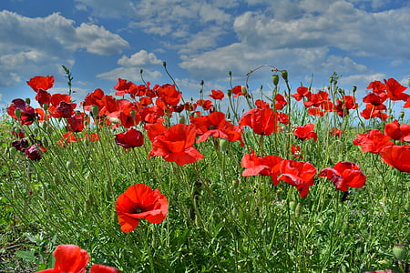 red poppy flowers under white cloudy sky during daytime photo