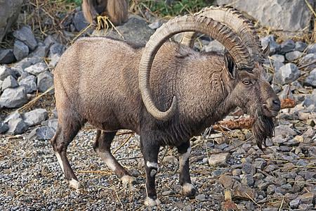 gray ram standing on gray gravel taken during daytime