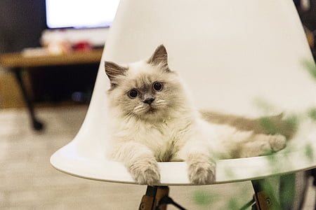 selective focus photograph of long-haired white cat on chair
