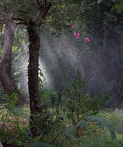 drops, watering, rain, rays, roses, nature