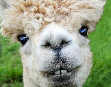 close-up photography of tan llama