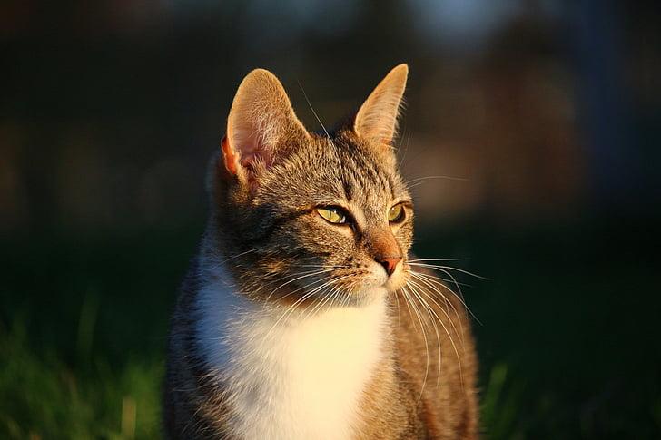 short-fur gray tabby cat