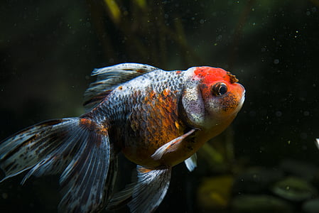 closeup photography of red and gray pet fish
