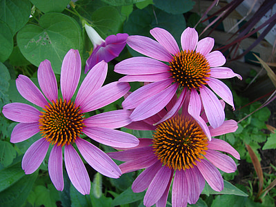 purple daisy flower