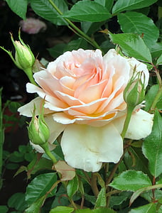 white and pink petaled flower