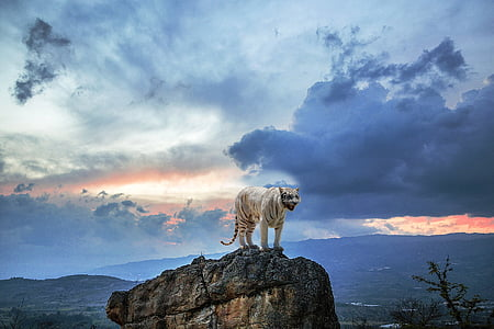 Tiger standing on top of brown rock under cloudy sky
