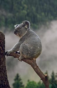 gray koala bear