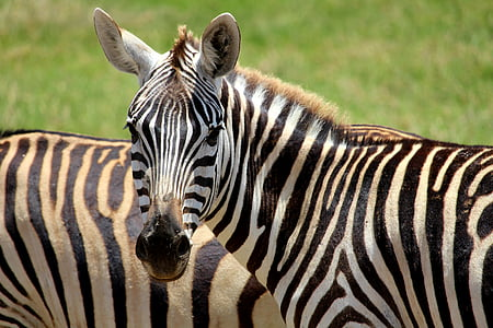 two zebra on outdoor during daytime