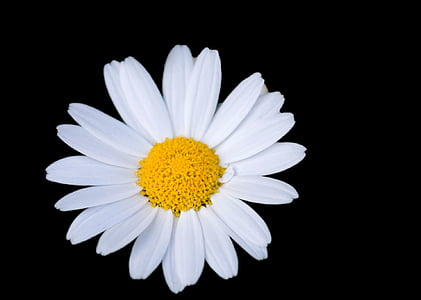 closeup photo of white daisy flower
