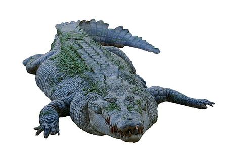 gray salt crocodile