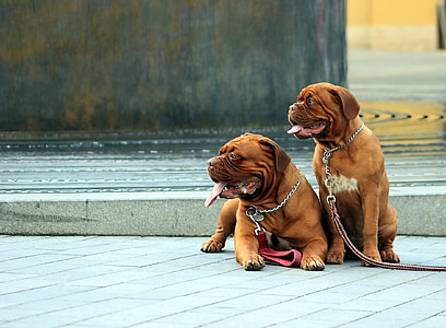 two adult tan French mastiff sitting on floor at daytime