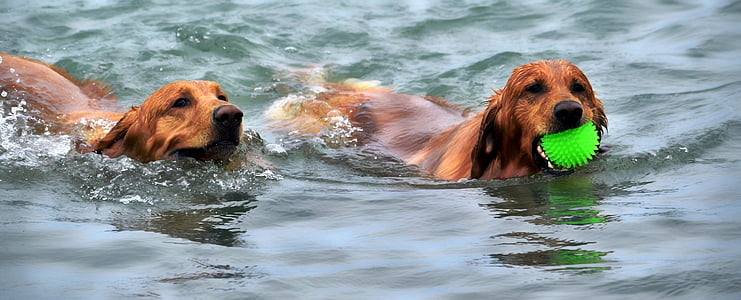 two short-coated brown dogs on water during daytime