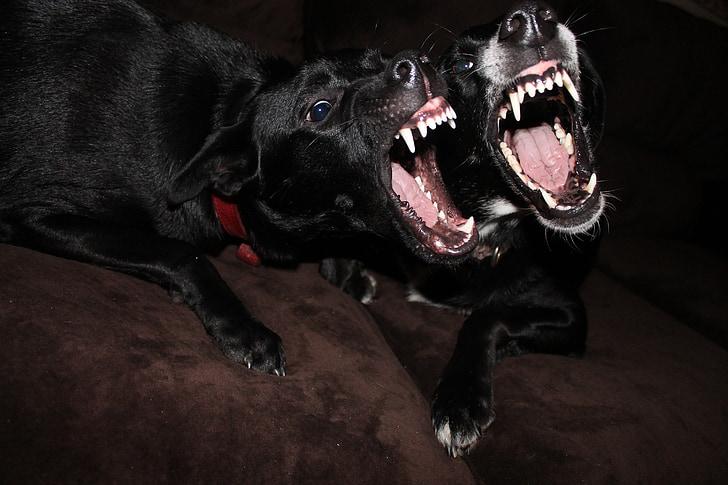 two black Labrador retrievers