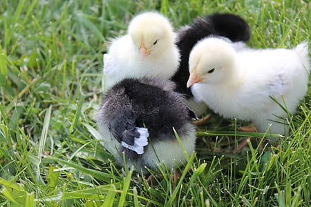 two black and yellow chicks standing on green grass
