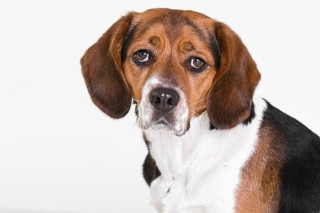 short-coated tricolor dog
