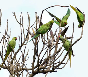 five rose-ringed parakeets on tree trunks