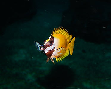 yellow and brown fish