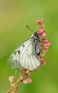 marbled white butterfly on pink flower in close up photography