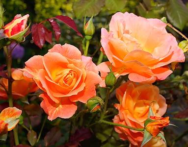 macro shot of pink roses