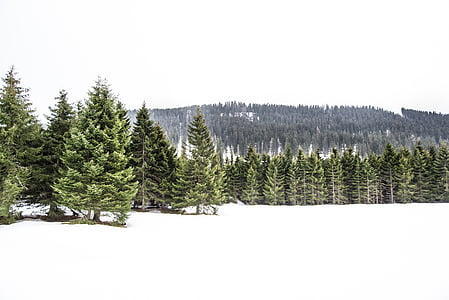 landscape of pine trees covered with snow